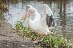 Крыла flapping пеликана Стоковые Фото