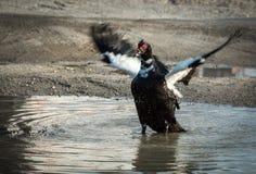 Крыла flapping утки Muscovy в лужице стоковое изображение