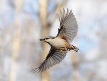 крыла nuthatch летания открытые Стоковое Изображение