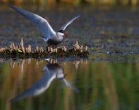 крыла tern грудин общего hirundo взрослого распространяя Стоковая Фотография RF