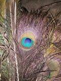 Крыло павлина стоковое изображение rf