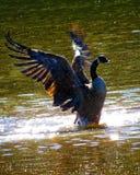 Крылья гусыни Канады распространяя брызгая в воде стоковая фотография