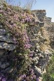 Крымский тимиан на скалистой горе Стоковые Изображения