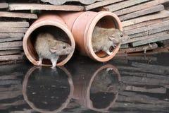 Крыса Брайна, norvegicus Rattus стоковое фото rf