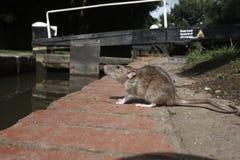 Крыса Брайна, norvegicus Rattus стоковое изображение rf