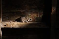 Крыса Брайна, norvegicus Rattus стоковое изображение
