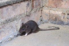 Крыса Брайна, norvegicus Rattus стоковые фото