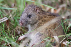 Крыса Брайна (novegicus Rattus) стоковая фотография rf