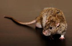 Крыса Брауна на темной предпосылке стоковое фото