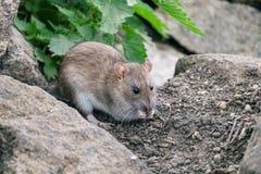 Крыса Брауна сидя на камни с зеленой крапивой в предпосылке стоковое фото rf