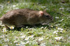 Крыса Брауна среди маргариток стоковые фото