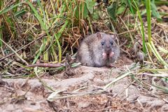Крыса Брауна - norvegicus Rattus есть под растительностью стоковые изображения