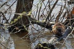 Крыса воды очищает свое мех Стоковая Фотография