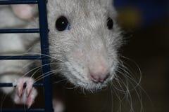 Крыса голубя в клетке стоковая фотография rf