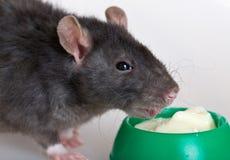 крыса еды стоковое фото
