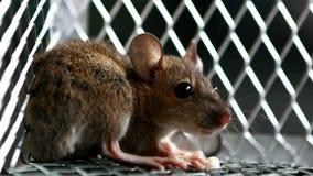 Крыса есть гайки в мышеловке видеоматериал