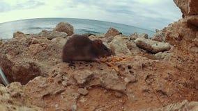 Крыса есть печенья на утесах сток-видео