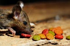 Крыса есть питание Стоковые Изображения