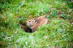 Крыса злаковика Стоковая Фотография