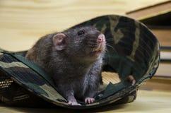 Крыса и камуфлирование Панама Стоковое фото RF