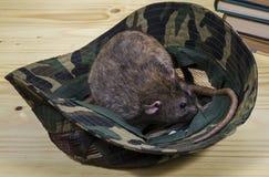 Крыса и камуфлирование Панама Стоковая Фотография RF