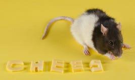 Крыса и сыр Стоковые Фото
