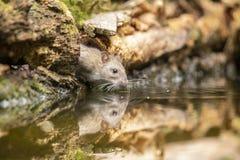 Крыса, коричневая крыса, norvegicus Rattus стоковое изображение rf