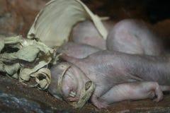 Крыса моли Стоковая Фотография