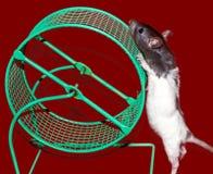 Крыса младенца и колесо клетки Стоковые Изображения RF