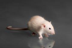крыса младенца Стоковое Изображение