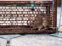 Крыса находилась в клетке улавливая крысу крыса имеет инфекцию заболевание к людям как лептоспироз, чуму Дома и жилище стоковое фото