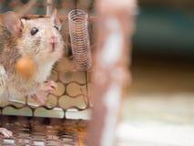 Крыса находилась в улавливать клетки крыса имеет инфекцию заболевание к людям как лептоспироз, чума Дома и sho жилищ стоковые изображения rf