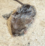 Крыса на замораживании Стоковое Изображение