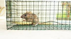 Крыса небольшого дома поглощенная в клетке стоковые фото