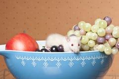 крыса плодоовощ шара Стоковое фото RF