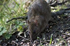 крыса портрета конца коричневого цвета предпосылки вверх по белизне Стоковое Изображение RF
