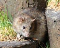 крыса портрета конца коричневого цвета предпосылки вверх по белизне стоковые изображения rf