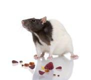 крыса предпосылки передняя стоя бела Стоковые Изображения RF