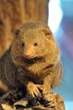Крыса представляет к изображению Стоковые Фото