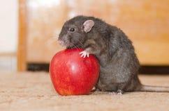Крыса с Яблоком стоковое фото