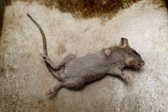 Крыса умирает на земле Стоковые Изображения