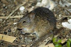 крыса хлопка Стоковая Фотография