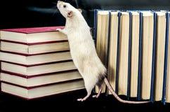 крыса Стоковая Фотография