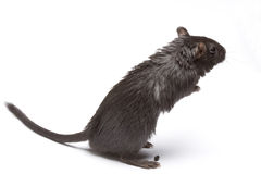 крыса Стоковое Изображение RF