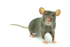 крыса Стоковые Фото