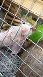 крыса Стоковые Изображения RF
