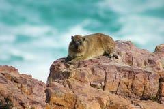 Крыса Dassie, даман, на утесе, Кейптаун, Южная Африка Стоковые Изображения RF
