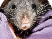 Крыса Dumbo младенца стоковое изображение rf