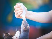 Крысы анонимной персоны подавая стоковые фотографии rf