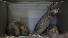 крысы клетки видеоматериал